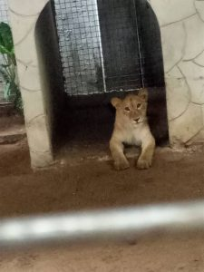 [PHOTOS] Lion discovered at a residential building owned by an Indian in Lagos