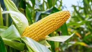 CBN Bans Forex For Maize Importation