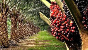 Report: Edo Leading in Regional Effort to Revive Oil Palm Devt