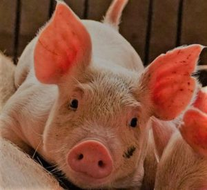 Pig farmers urged to maintain adequate records for proper planning, access to finance